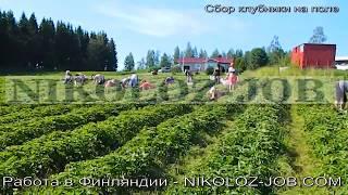 Как работаем на ферме? Сбор малины, клубники, черники. Работа за границей без знания языка.