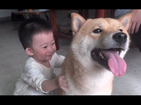 Sweet Shiba Inu Playing with Baby! Super Cute