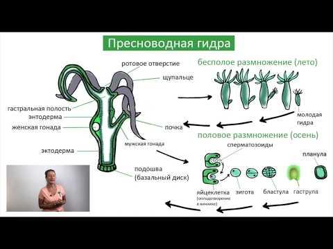 Класс Гидроидные / Жизненный цикл / Биология онлайн с Александрой Соболевой