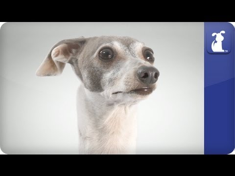 Italian Greyhound - Doglopedia