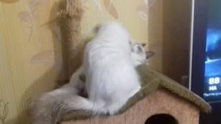 """Невские маскарадные котята.Питомник """"КИСА Анфиса"""""""