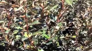 Elaeagnus pungens - Silverberry