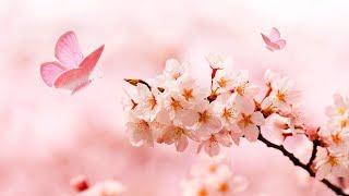 로맨틱한 아침을 위한 힐링음악 3시간 🎵 명상음악, 요가음악, 스트레스해소음악 (Cherry Blossom)