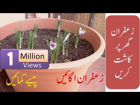 How To Grow Saffron Plant At Home and earn Huge money  (Urdu/Hindi)