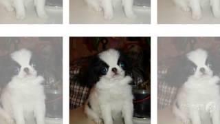 Коротко японский хин порода собак