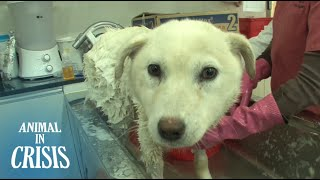 Dog's Face Swollen And Decaying From Short Chain Around Her Neck | Animal in Crisis EP66