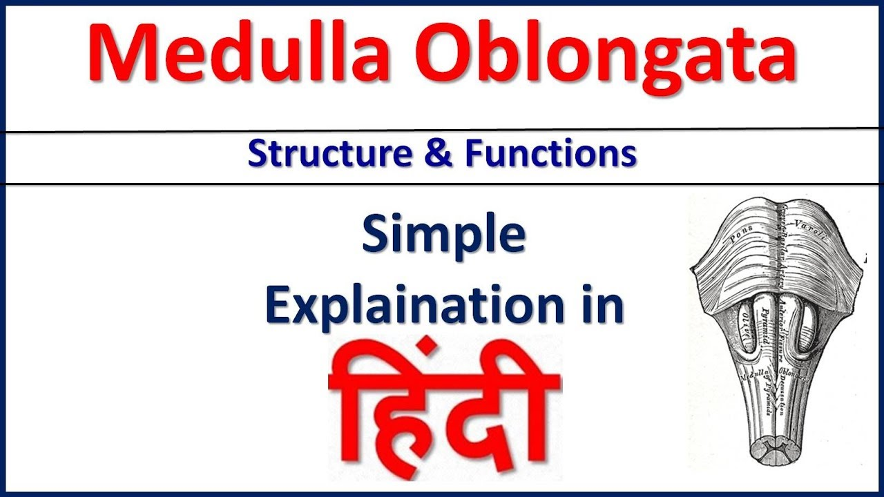 Medulla Oblongata Structure and Function simple ...