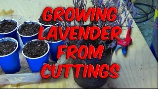 Propagating and Growing Lavender From Cuttings