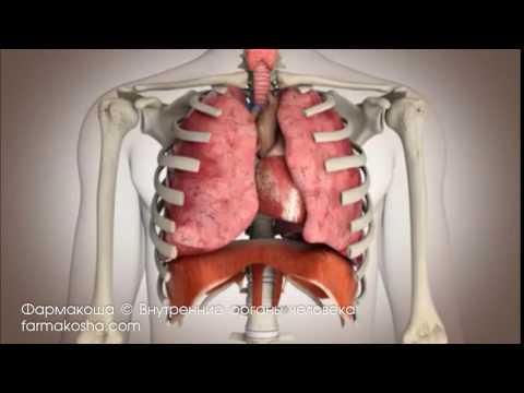 Внутренние органы человека | Фармакоша - Анатомия