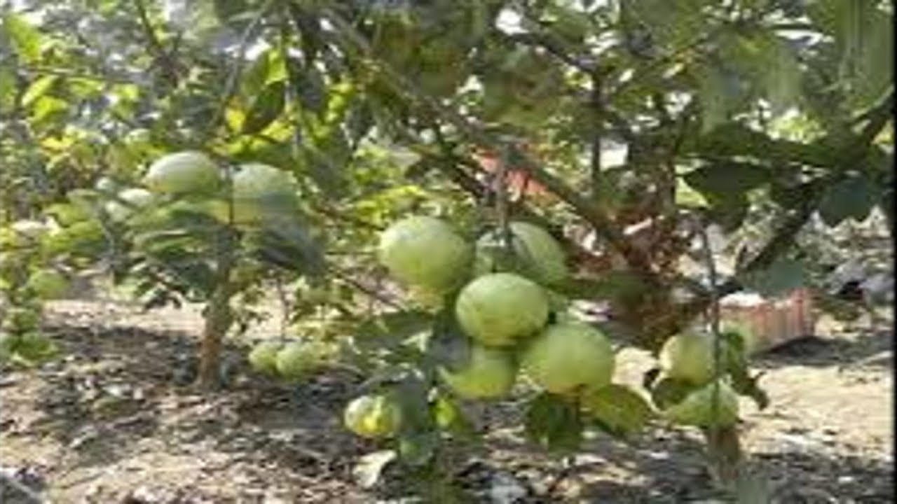 How to grow guava tree faster
