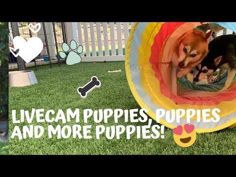 Cutest Puppies Live Cam-Alaskan Klee Kai, Miniature Husky Dogs