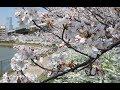 桜満開の暑い大阪 枚方では気温24度を観測・住吉・阿倍野の3池へ 報告・撮影:柳曽文隆