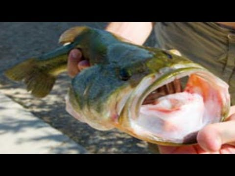 Largemouth Bass Fishing In The Canals In EL Paso Texas