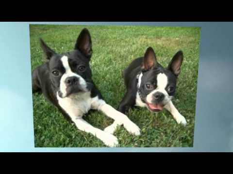 boston terrier potty training how to potty train a boston terrier puppy youtube 5587