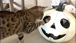 Halloween Pumpkin And Playful Cats! Halloween Decor #halloween #cute #cats