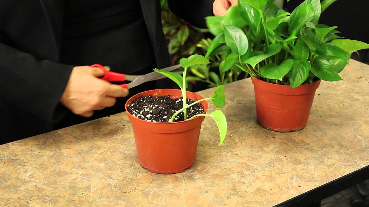 Providing Tree And Plant Care: Propagating Pothos Plants : Gardening & Plant Care