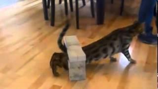 Training of bengalese cats! Дрессировка бенгальских котов!