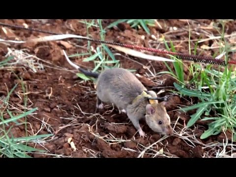 The Giant Rats Sniffing Out Landmines In Tanzania