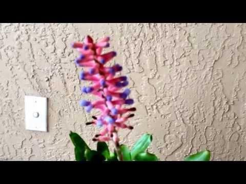 Aechmea gamosepala ( species Bromeliad from Brazil )