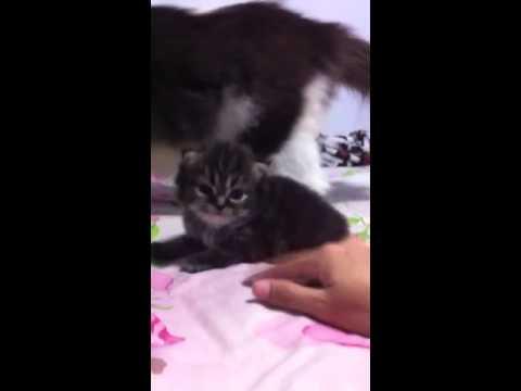 ลูกแมวเปอร์เซียอายุ2เดือน