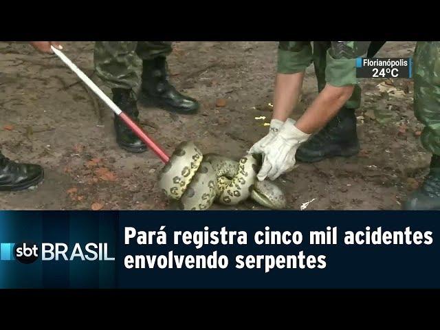 Pará registra cinco mil acidentes envolvendo serpentes   SBT Brasil (09/03/19)