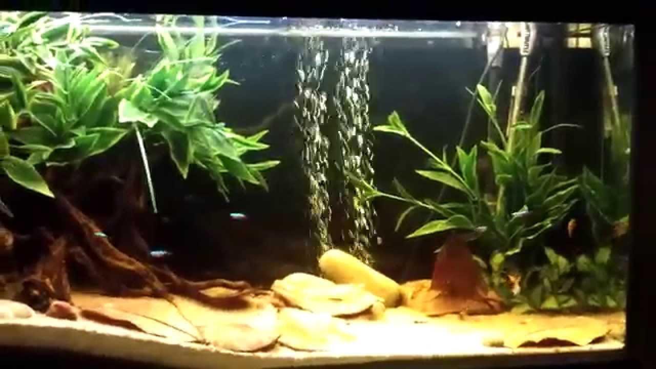 50 Gallon Dwarf Cichlid Blackwater Aquarium Fish Tank Youtube