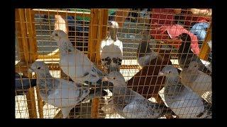 جولة بعد العيد(ج٤) سوق #جمهورية_المحله_الكبري_للحمام Egyptian pigeon's market 2019
