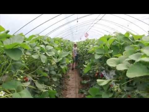 Strawberry Farm in Korea