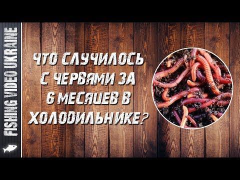 Как сохранить червей в домашних условиях в холодильнике