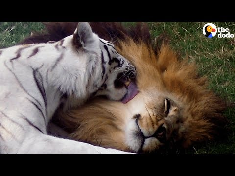 White Tiger, Lion Couple Living at Roadside Zoo Are FINALLY Freed | The Dodo