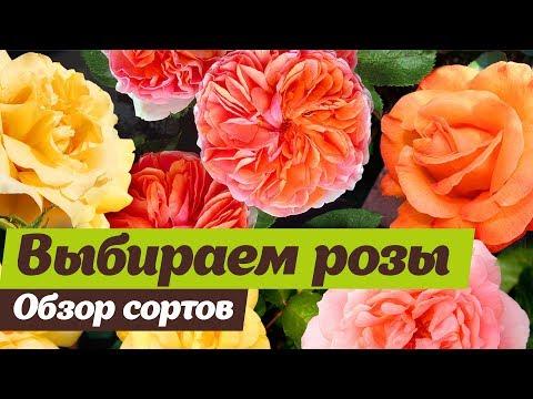 Вопрос: Какие сорта плетистых роз более зимостойкие и неприхотливые?