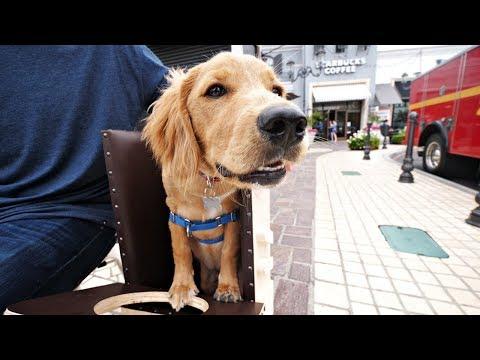 Golden Retriever shelter dog w...