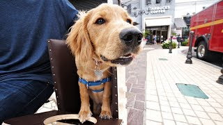 Golden Retriever shelter dog won't survive without special chair 😥( Jalapeno the dog)