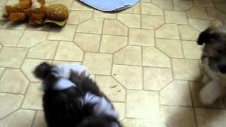 Havanese Akc Non-shedding Small Lap Dog Knoxville Tn Near Ky Nc Va Ga Sc