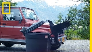 Watch: Clever Raven Outsmarts a Trash Can | National Geographic