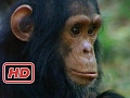 A Among The Wild Chimpanzees Full Documentary With Subtitles mp3