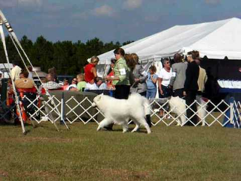 1 Hernando Dog Show Brooksville, FL 11/8/08 Samoyeds 1  series