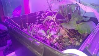금붕어 어항 자갈수경재배 고구마 싹이 2m 가까이 컸어…