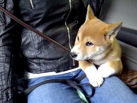 Shiba Inu puppy first car wash!