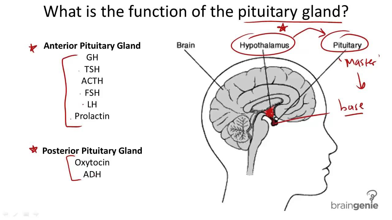 8 2 2 Pituitary Gland Structure And Function Biyani Times August
