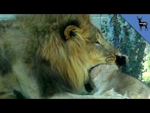 Thumbnail: Lion Kills Lioness In Front Of Dallas Zoo Visitors