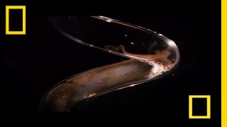 Octopus Escape | National Geographic