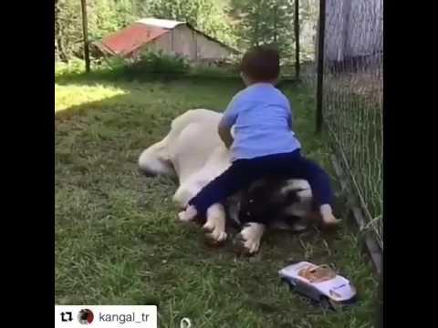 Kangal köpeğinin çoçuk sevgisi