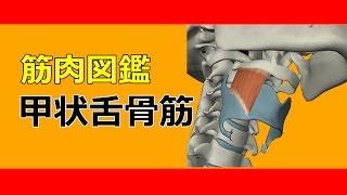 【筋肉動画図鑑】甲状舌骨筋 - 筋肉研究所