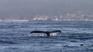 7.27.15 Humpback Whales, Common Dolphins & Risso