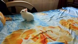 Карликовый кролик кидается какашками