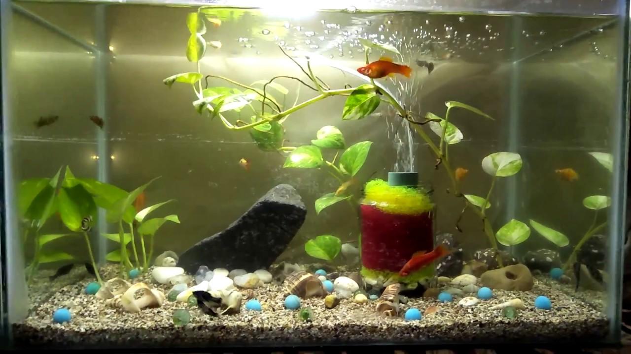 My Aquarium Molly Fish Guppy Fish Tiger Barbs Youtube
