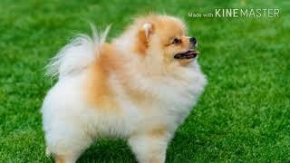Chó Phốc Sóc có ưu và nhược điểm gì?