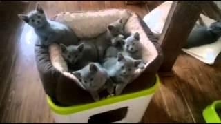 """Русские голубые котята питомника """"RAZDOLIE"""".  Помет S."""
