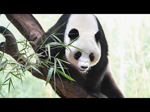 China Opens First National Key Panda Protection Lab